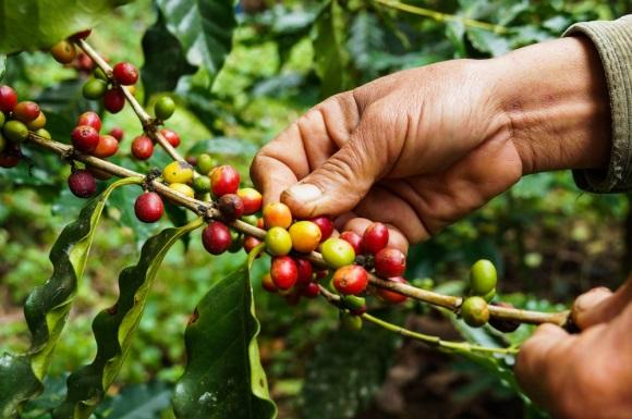 Kona Coffee Brands